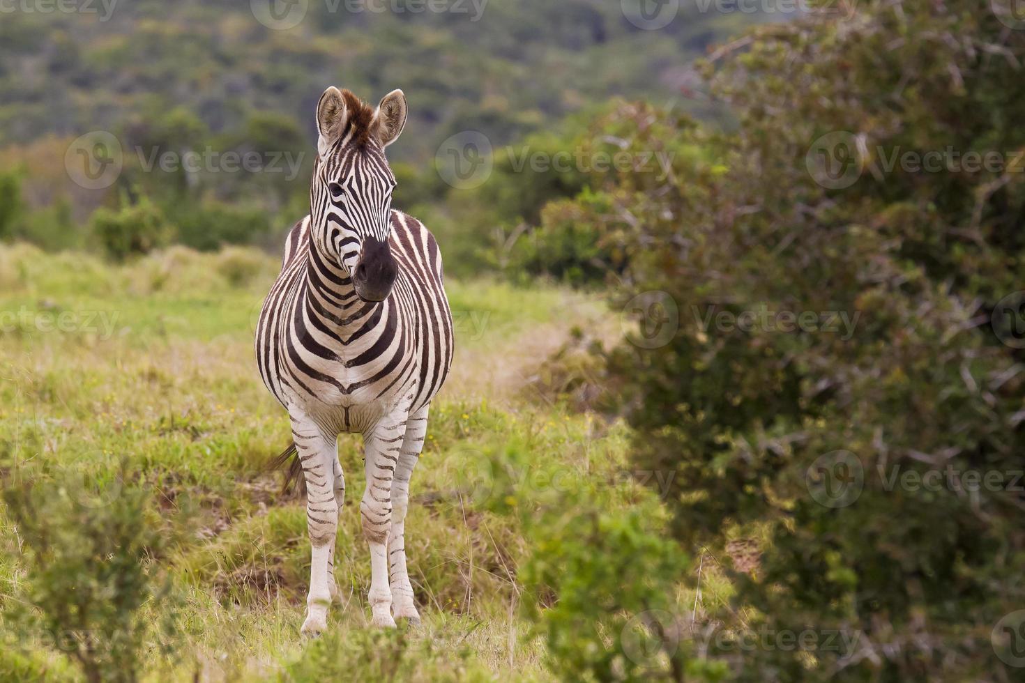 Zebra standing close to a thorn bush photo