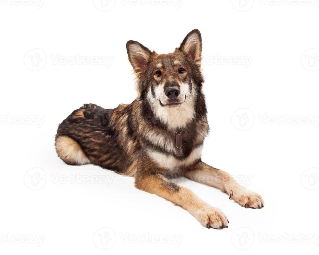 lobo y pastor alemán cruzan perro tendido foto