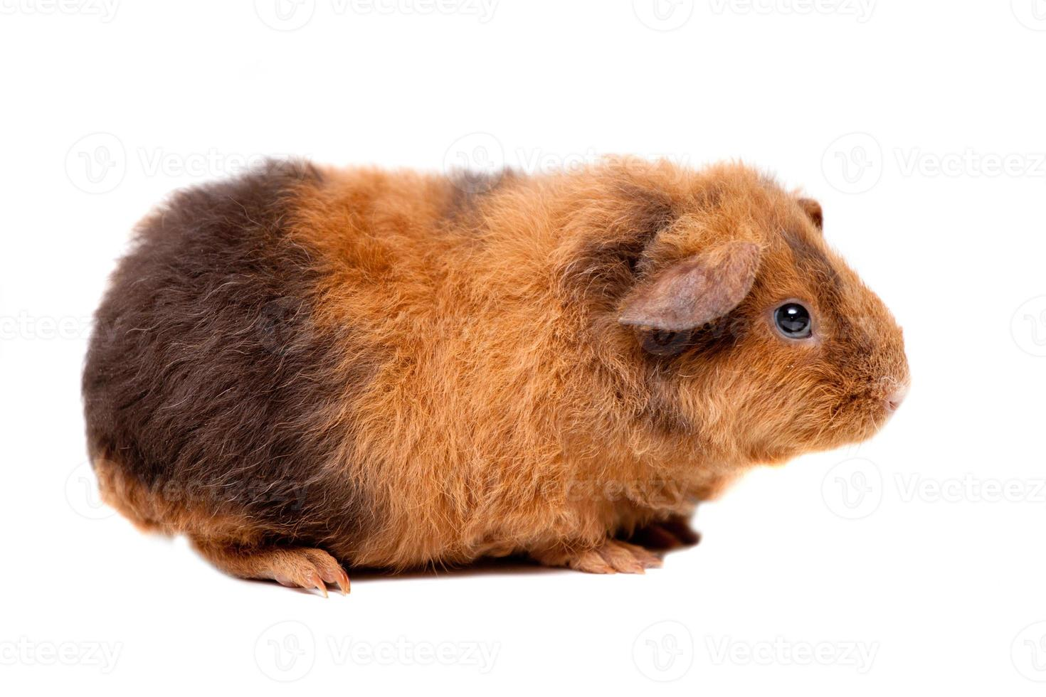 Teddy guinea pig photo