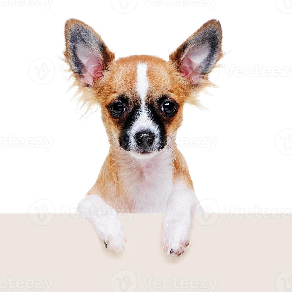 Perro chihuahua con tablero en blanco foto