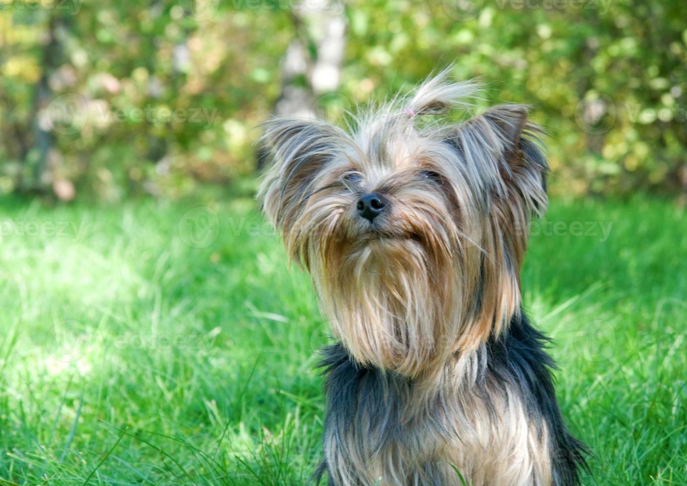 yorkshire terrier en parque de la ciudad foto