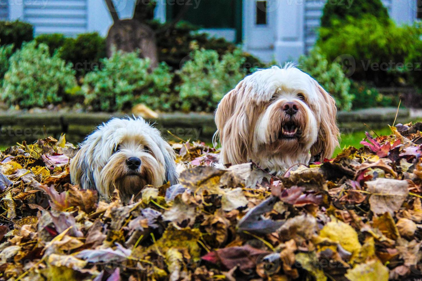 dos perros en la pila de hojas foto