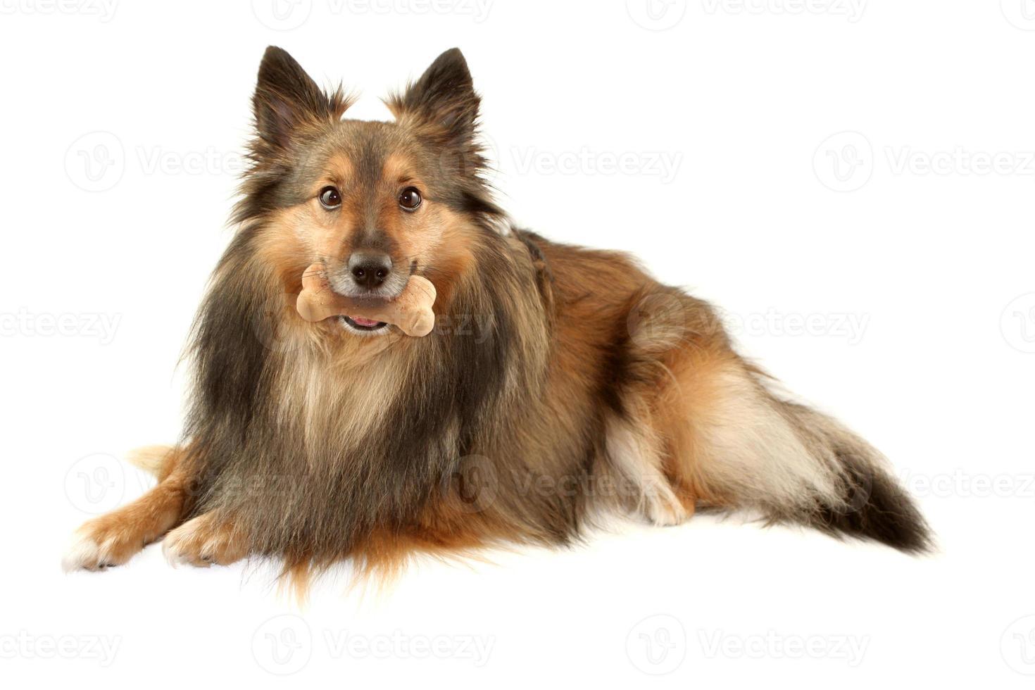 Sheltie sable con hueso de perro foto