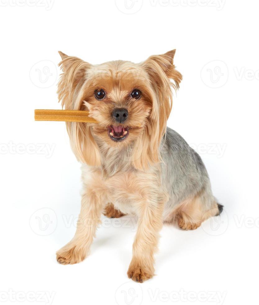 perro con palo dental en la boca foto