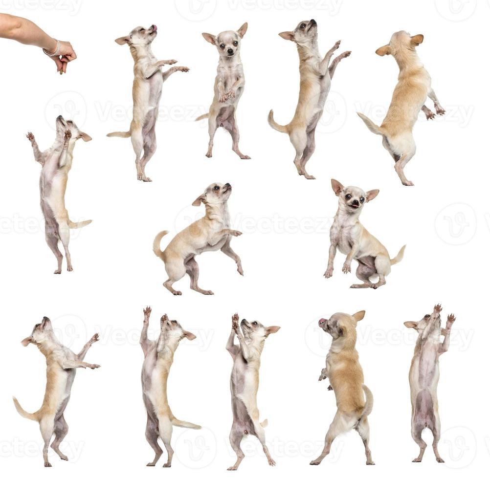 colección de 12 chihuahuas, posición diferente, aislado foto