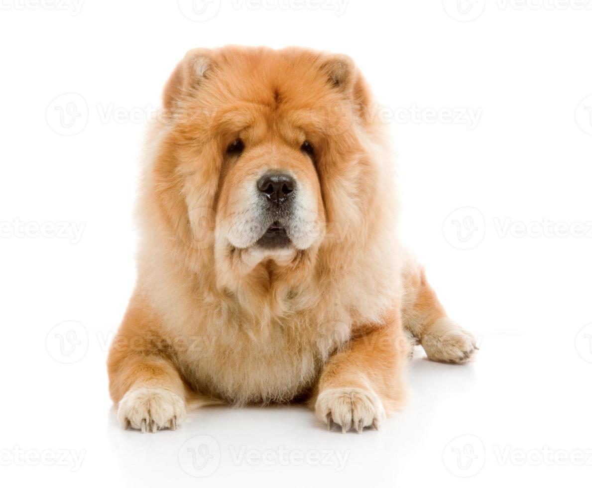 perro chow-chow en estudio foto