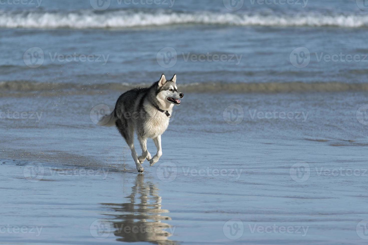 Husky dog on beach photo