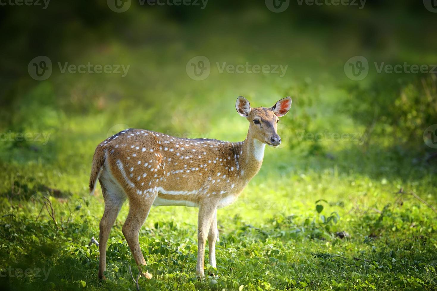 Wild Spotted deer photo