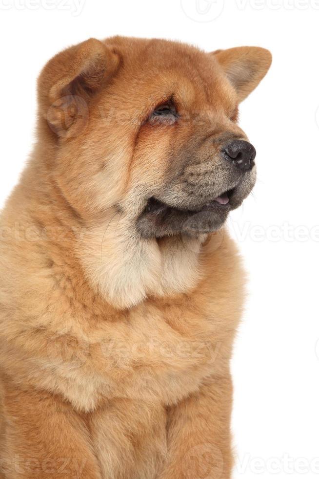 Retrato de primer plano de cachorro chow-chow foto
