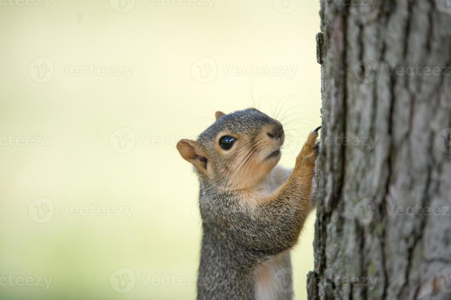 Eastern gray squirrel on tree photo