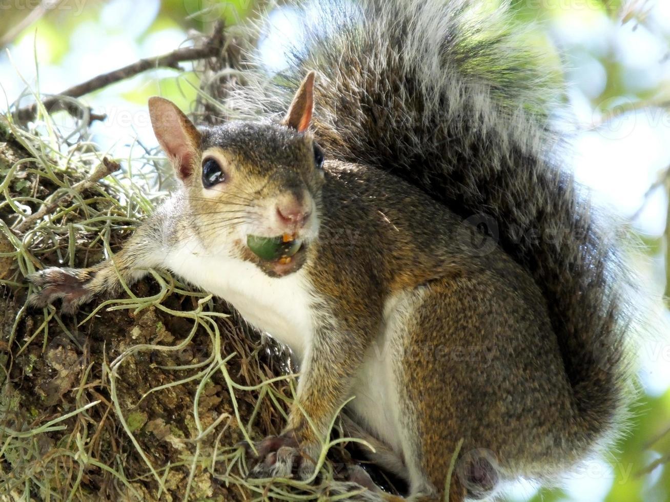 Gray Squirrel (Sciurus carolinensis) photo