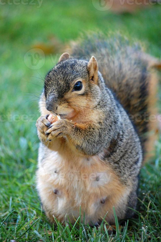 squirrel eating nut photo