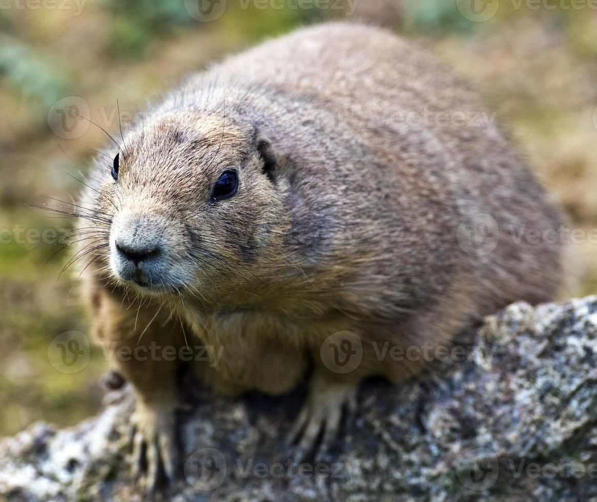 Face view of Prairie dog photo