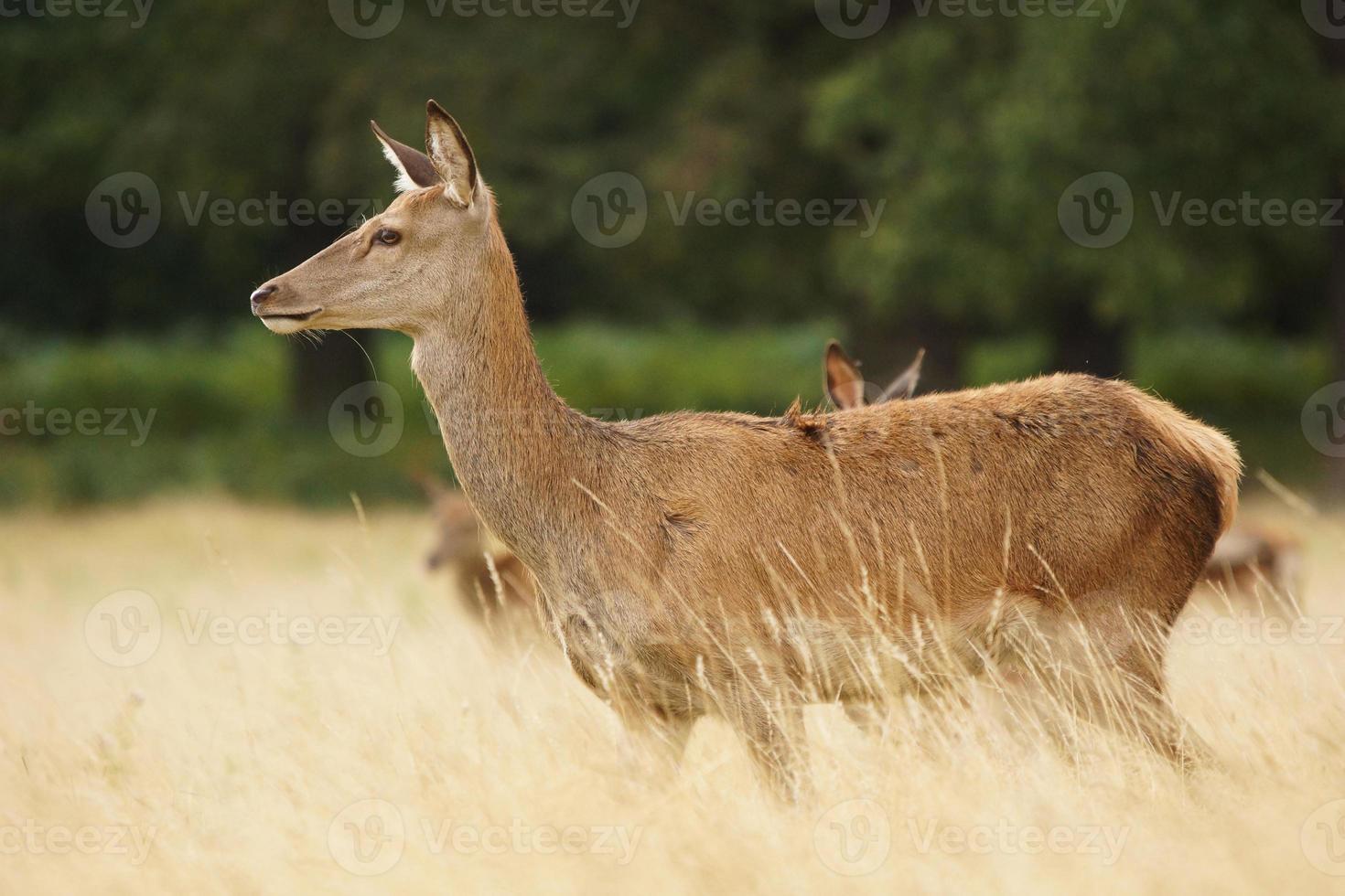 Red Deer, Deer, Cervus elaphus photo