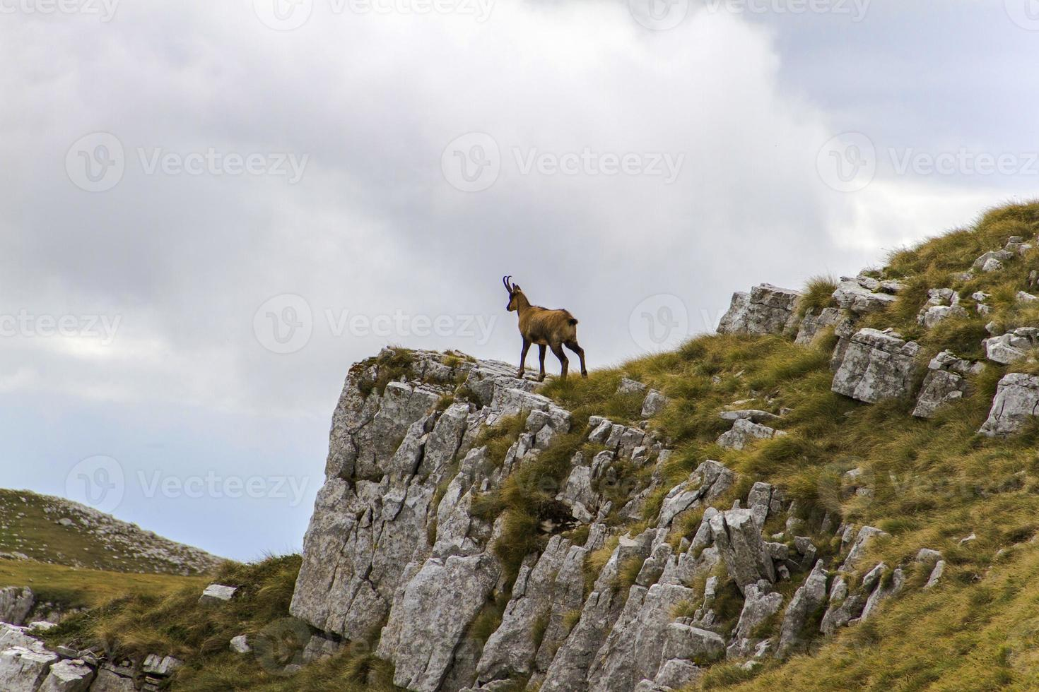 gamuza en la cima de una roca foto