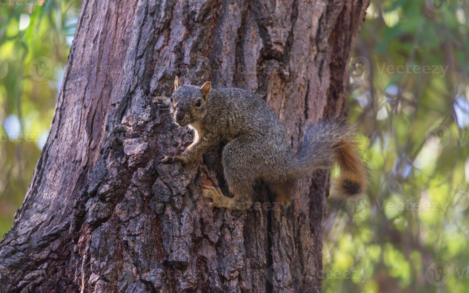 ardilla zorro en un árbol foto