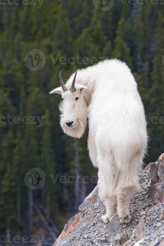 Canadian Rocky Mountain Goat photo