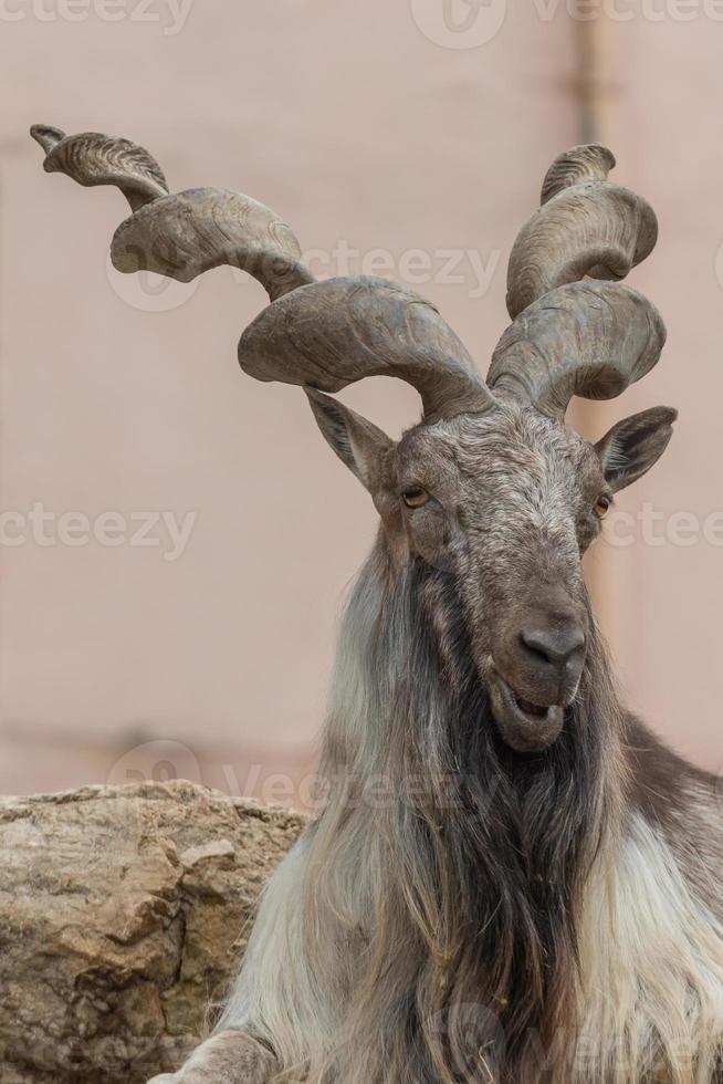 la cabra Billy foto
