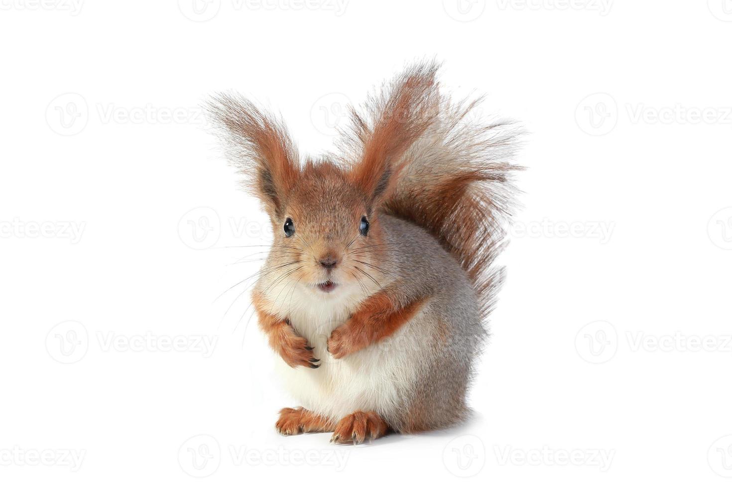 grey  squirrel photo