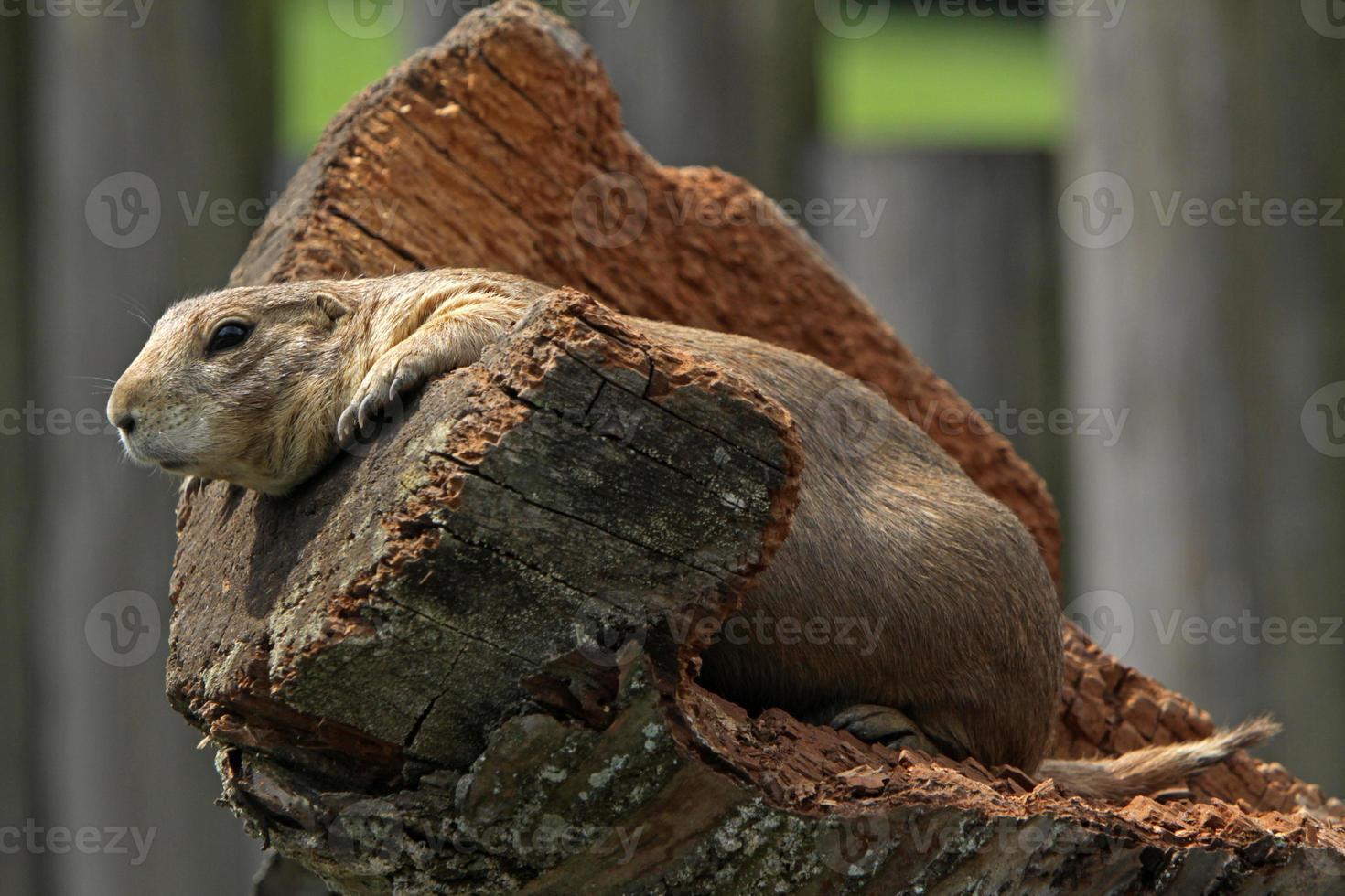 Prairie dog photo
