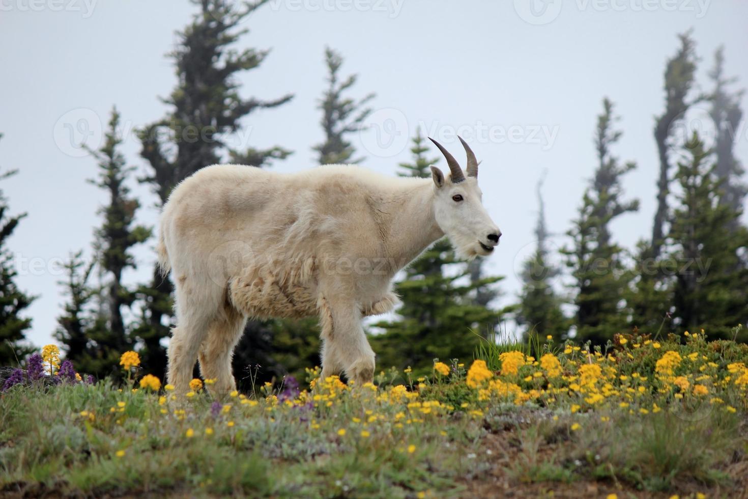 cabra de montaña foto