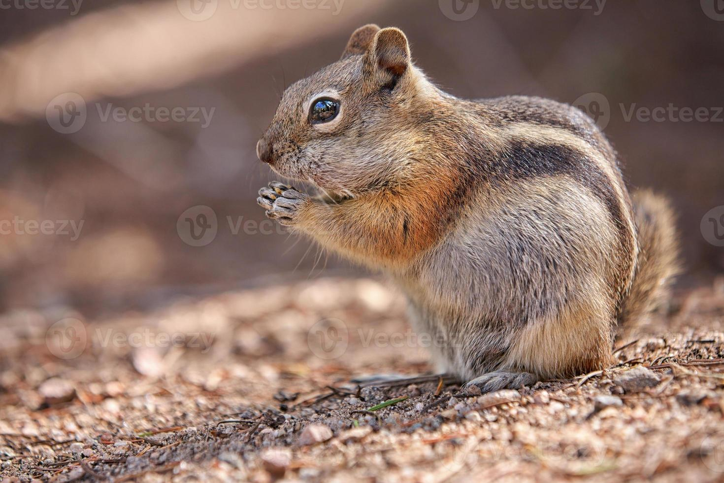 chipmunk in the Rocky Mountain National Park photo