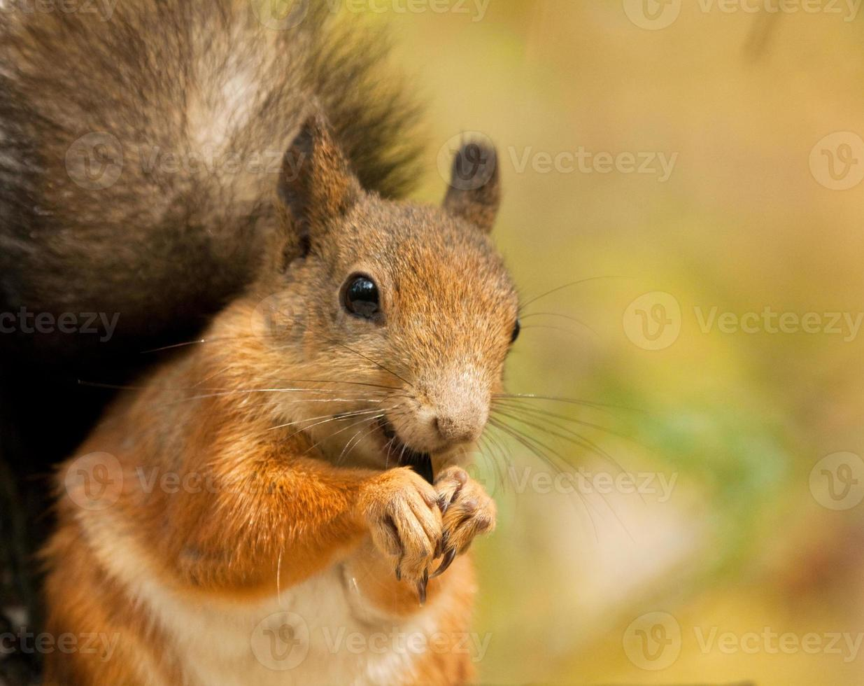 Squirrel with a sunflower seeds photo