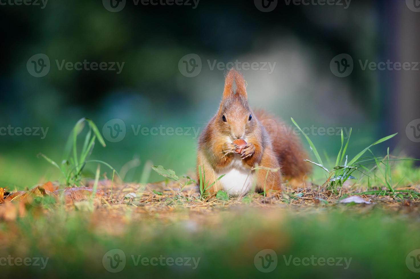Ardilla roja linda curiosa eatinh avellana en otoño bosque tierra foto
