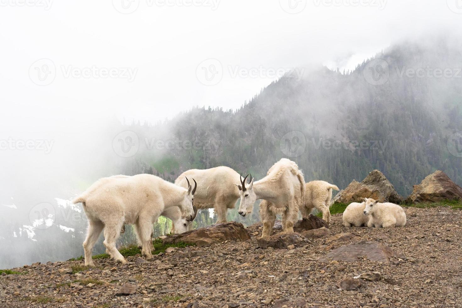 rebaño de cabras montesas foto