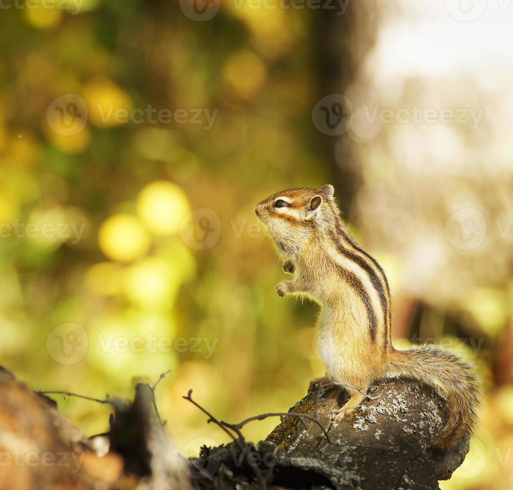 Chipmunk on a tree in the forest photo