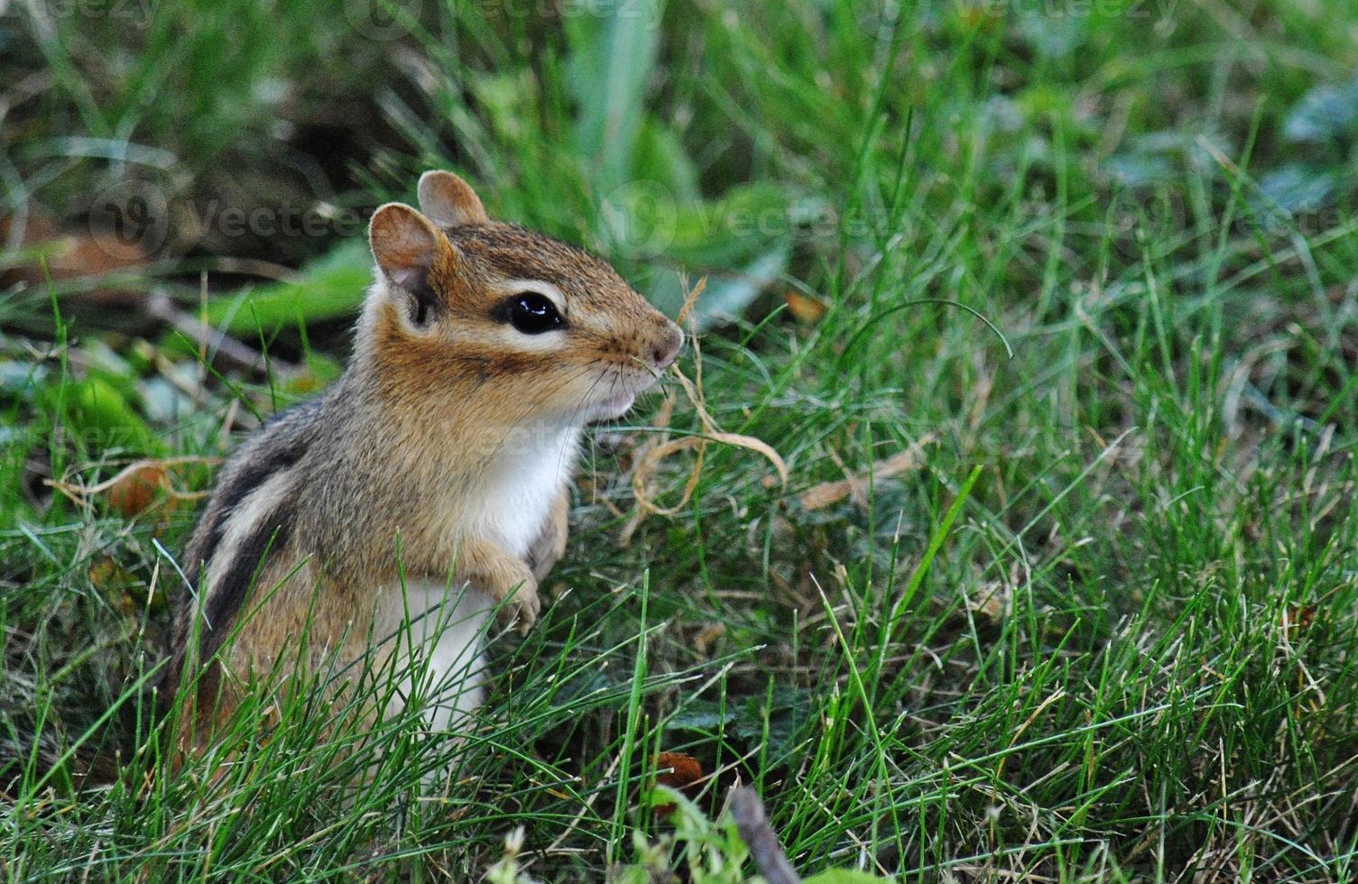 curioso y alerta - ardilla listada en la hierba foto