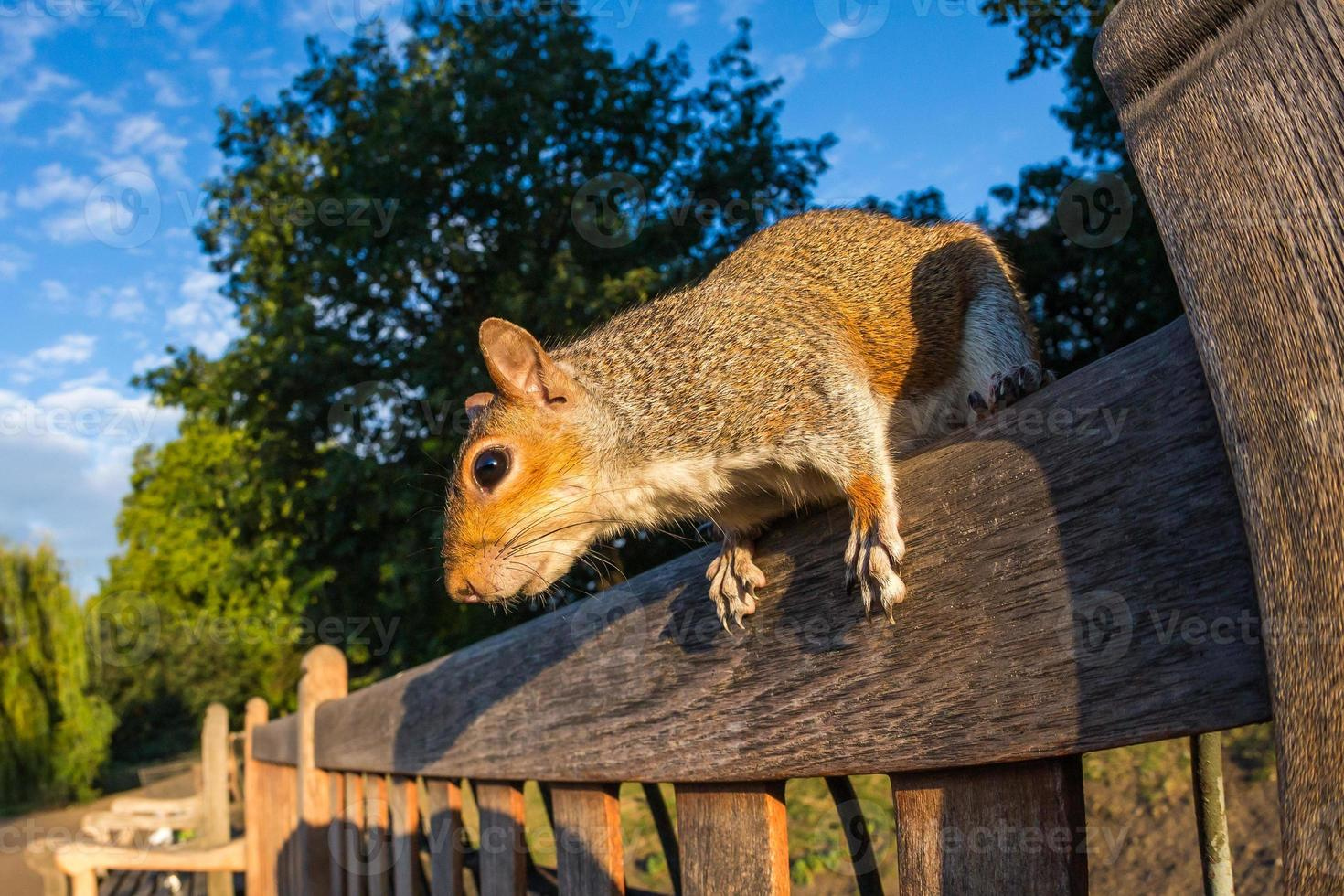 Grey Squirrel on a park bench photo