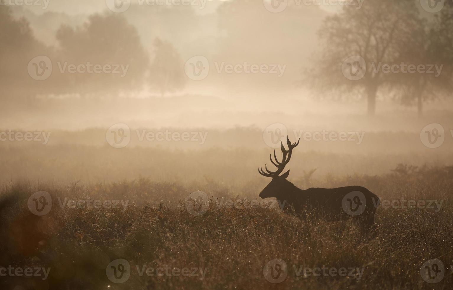 Red Deer Stag in the mist photo