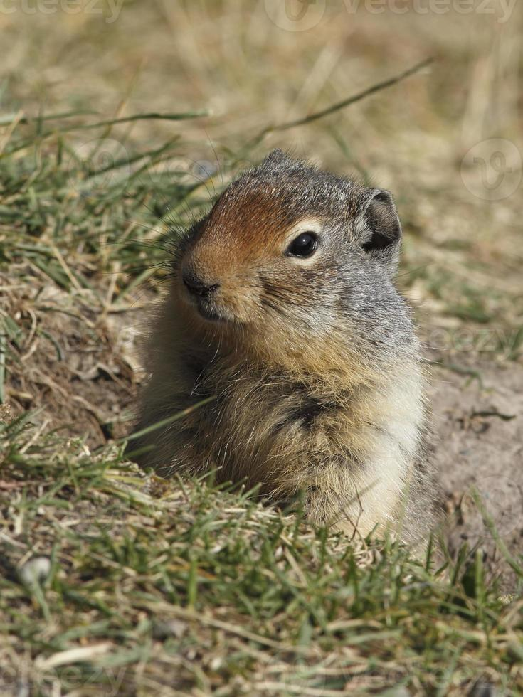 Columbian Ground Squirrel Peering from its Burrow - Banff, Canada photo