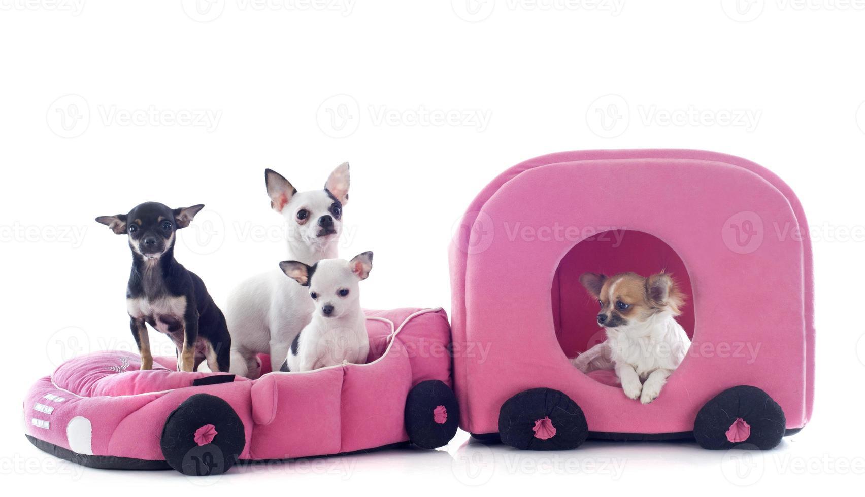 chihuahuas en auto foto