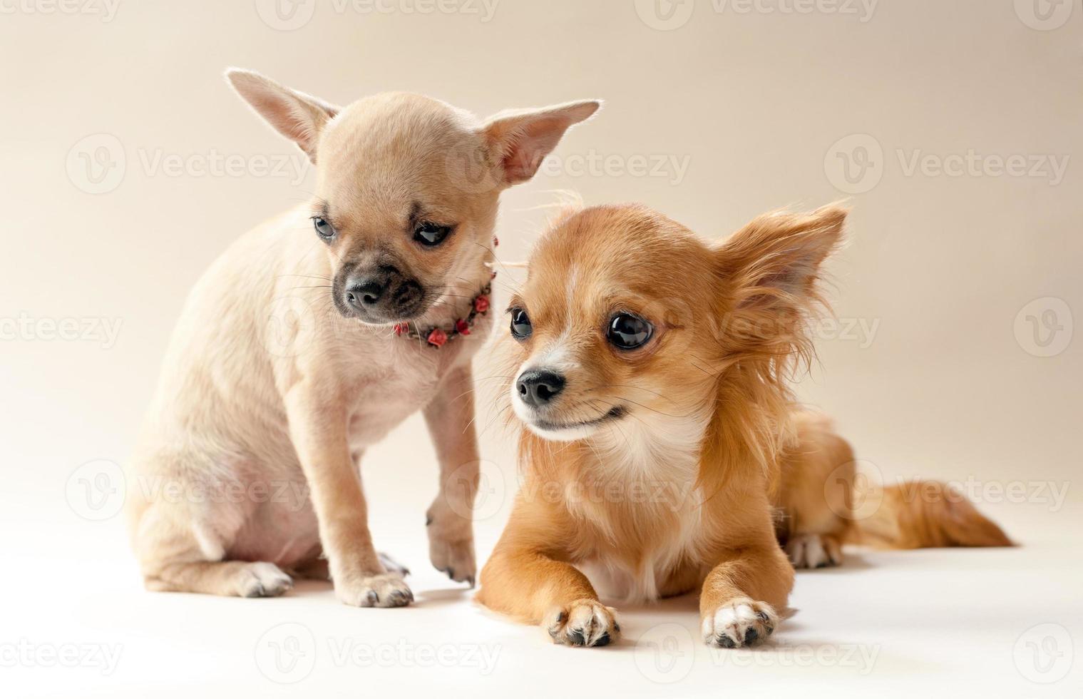 dos dulces cachorros chihuahua foto