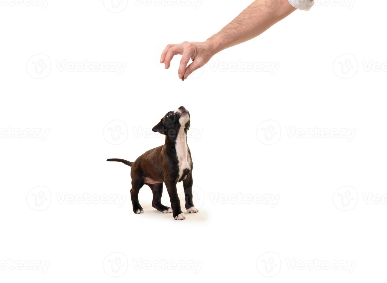 pit bull cachorro esperando un regalo foto