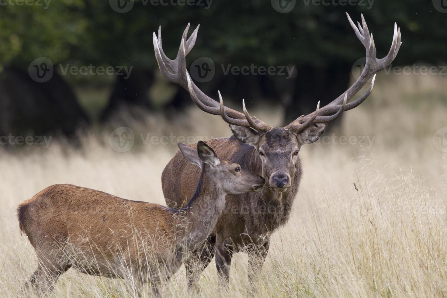 Rothirsch, Cervus elaphus, Red deer photo