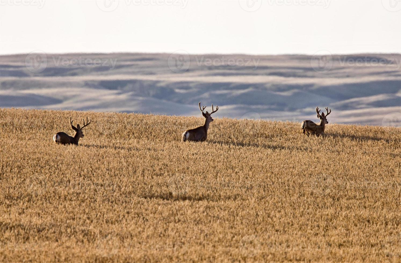 Mule Deer in Wheat Field photo