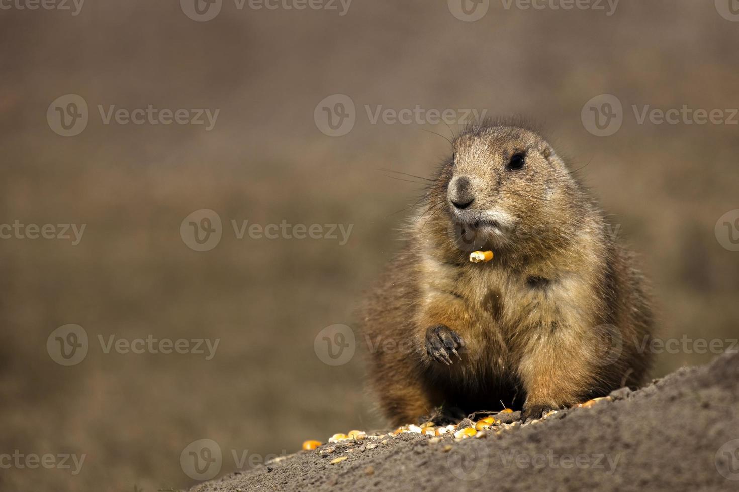 perrito de las praderas comiendo maíz foto