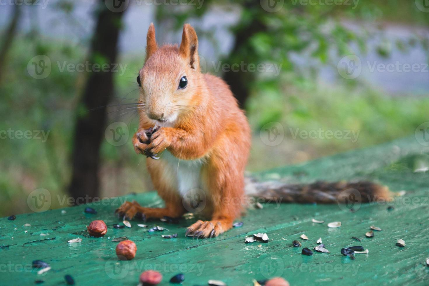 la ardilla roja eurasiática comiendo semillas de girasol foto