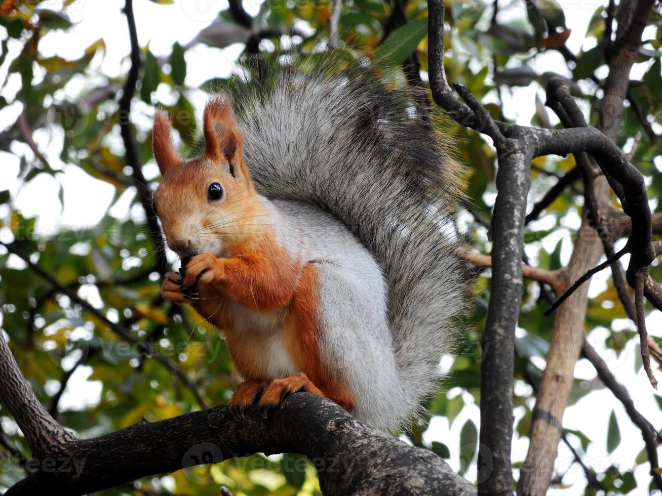 ardilla roja comiendo en el árbol foto