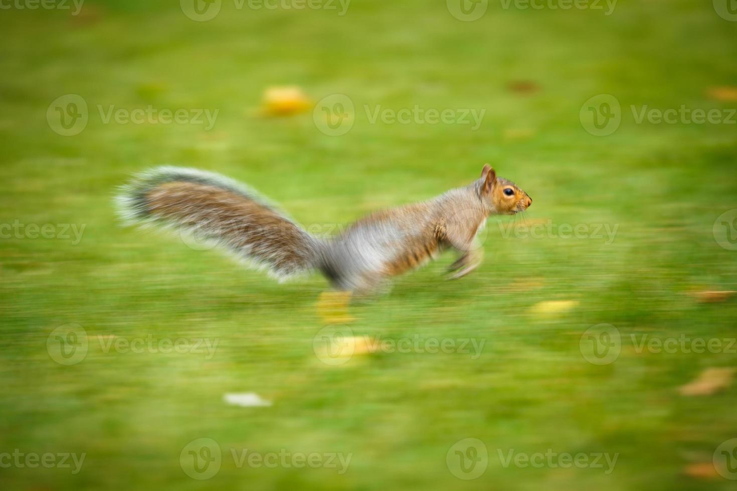 Eastern Grey Squirrel (Sciurus carolinensis) photo