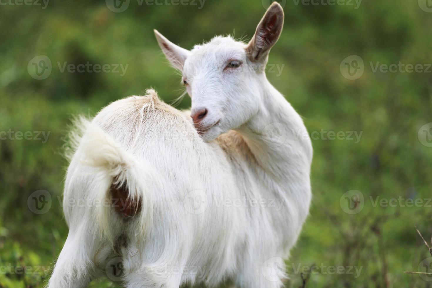 Young white goat eating grass in summer meadow photo