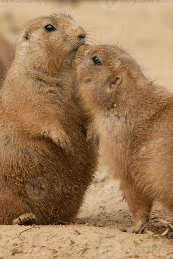 perros de la pradera abrazados y mostrando afecto foto