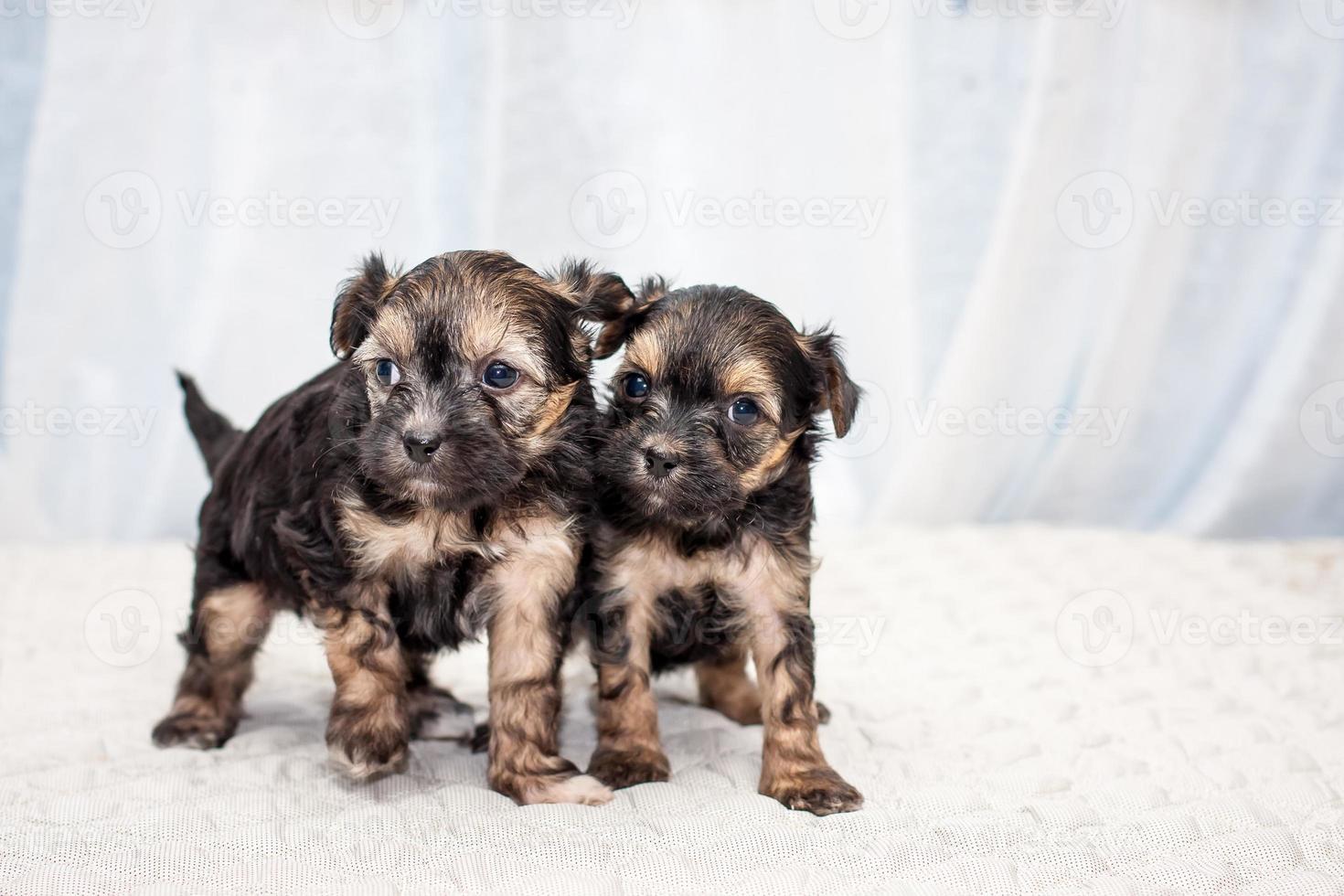 perros cachorros chinos foto
