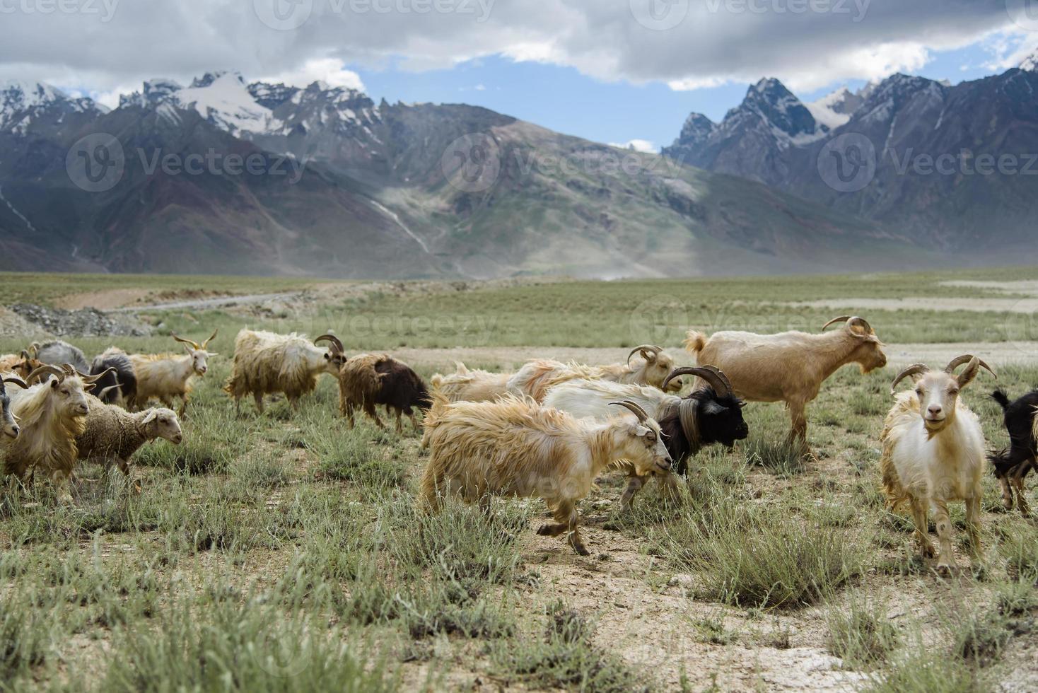 Grupo de campo de cabra, padum, zanskar vally, india. foto
