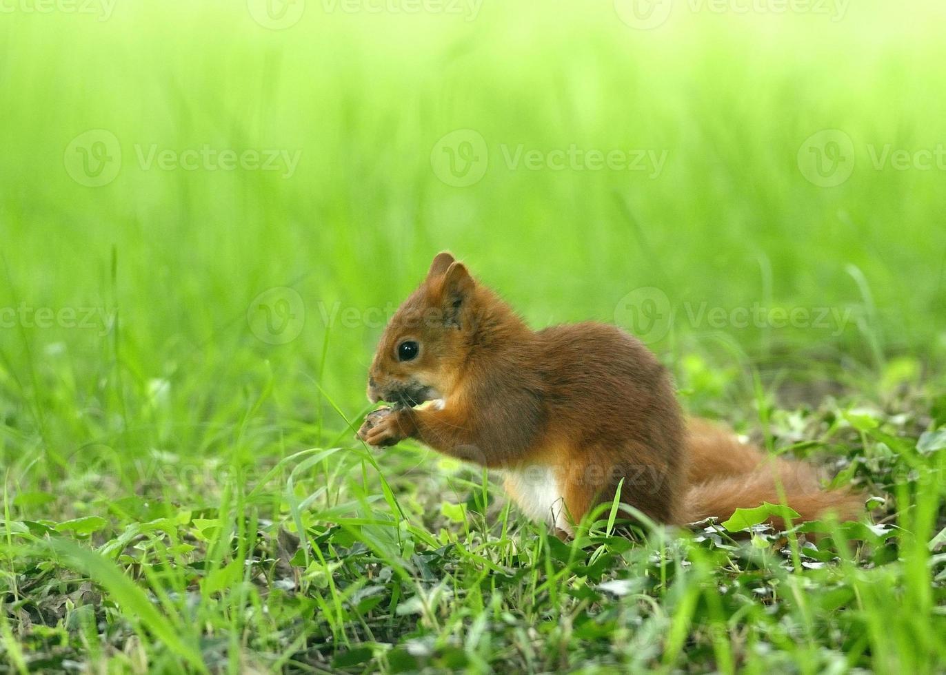 Red Squirrel photo