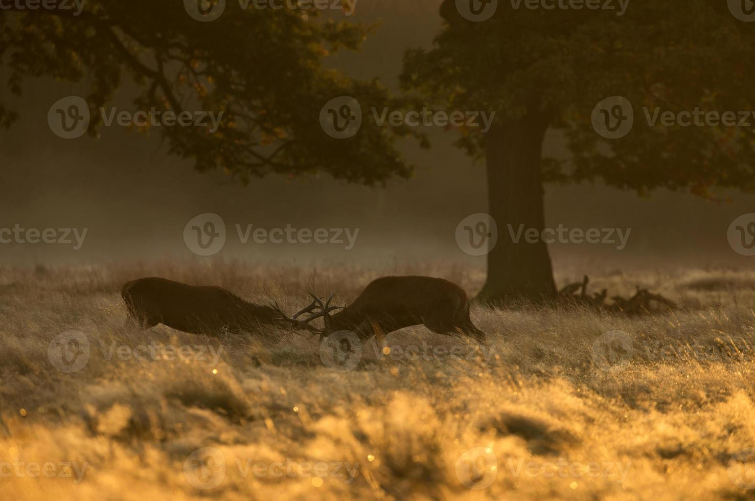Red deer stags fighting photo