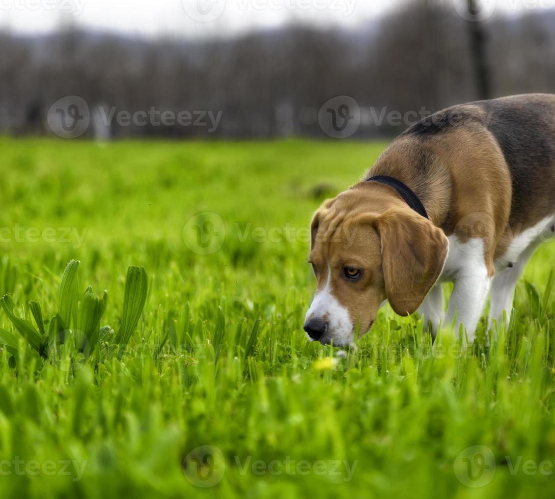lindo perro de caza foto